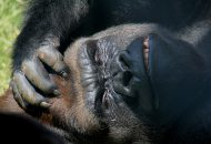Gorilla is annoyed - Biggest Pet Peeves
