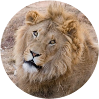 lion - Failure is not final - betterhumanbeings.com