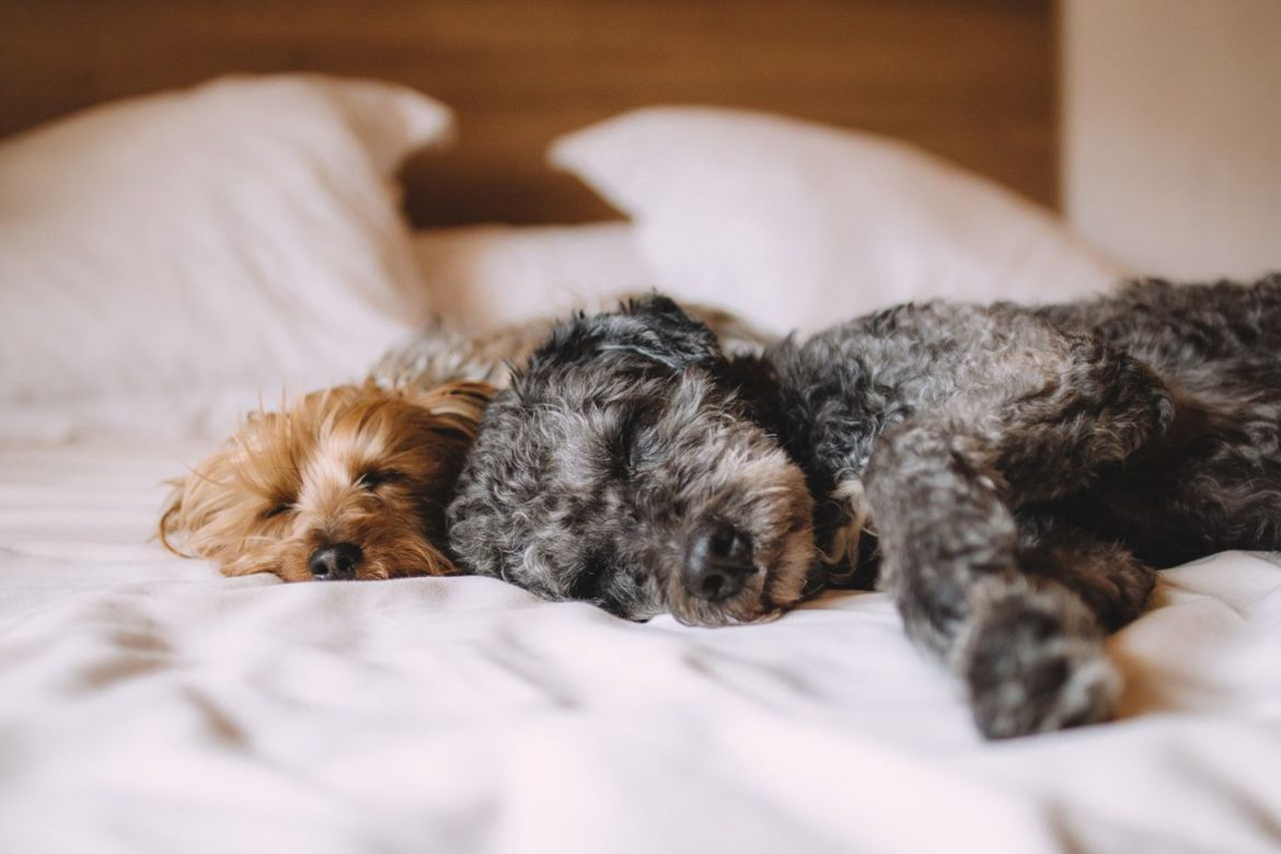 Dogs lying in bed - Why people love animals more that people. BetterHumanBeings.com